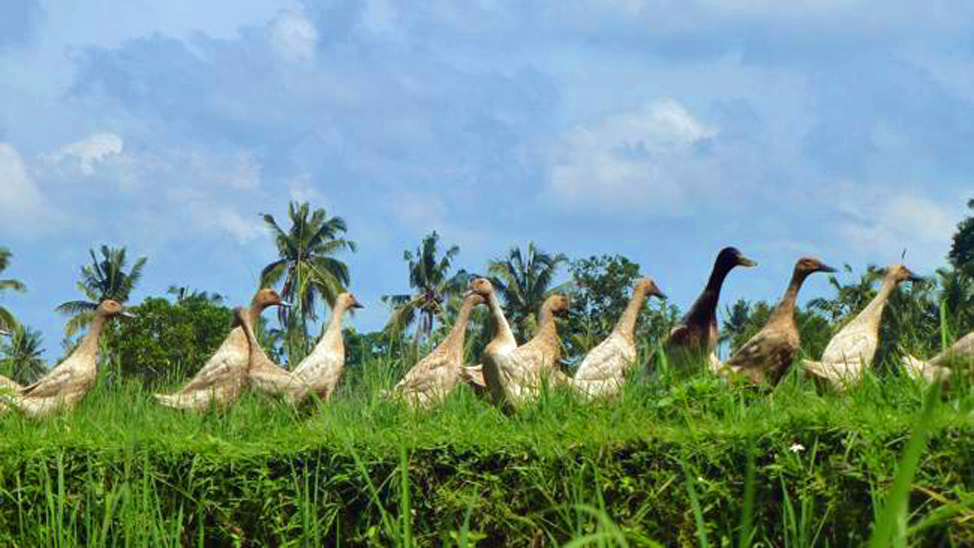 things to do in Bali - Ubud Bali Bird Walk is a pleasant morning's guided walk in Ubud countryside.