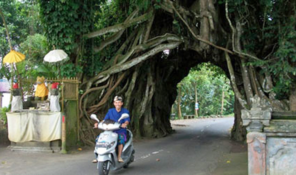 things to do in Bali - West Bali, Bunut-Bolong's archway, carved through the tree because spirits resisted attempts to cut it down, makes a great photo stop