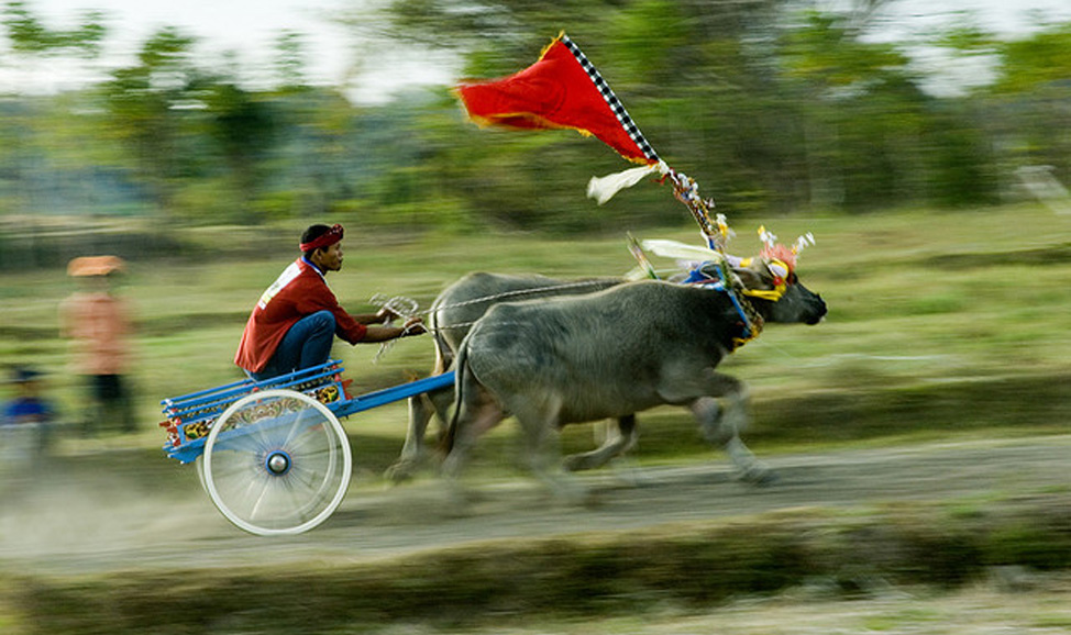 things to do in Bali - West Bali, Makepung (water buffalo racing), a unique and exciting sport in West Bali, with races now also staged for tourists.