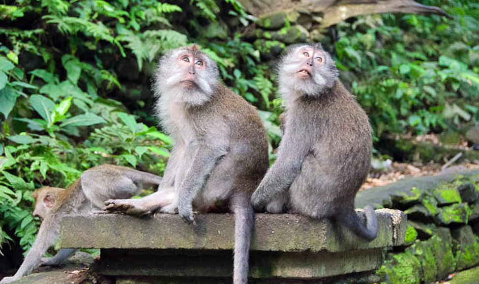 things to do in Bali - Sacred Monkey Forest in Padangtegal, near Ubud, is home to hundreds of monkeys.