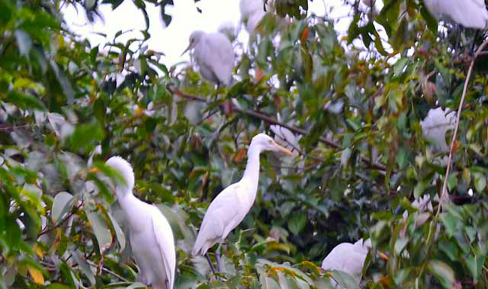things to do in Bali - Petulu, near Ubud where big herons and egrets fly here nightly & squabble over prime perching places.